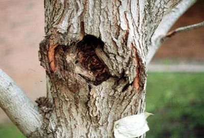 treecanker